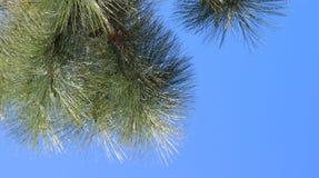 Αειθαλείς κλάδοι, ασυννέφιαστο υπόβαθρο μπλε ουρανού Στοκ Εικόνες