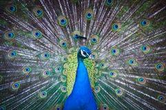 αερισμένη ινδική ουρά peacock Στοκ Εικόνες