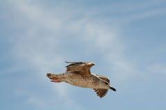 Αεροδυναμικό seagull στοκ εικόνα