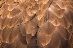 αετός ανατολικός Στοκ Φωτογραφία