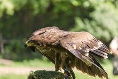 αετός βασιλικός Στοκ Εικόνα