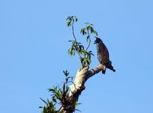 Αετός γερακιών Blyth Στοκ Εικόνες