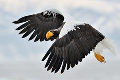 Αετός θάλασσας Steller Στοκ Εικόνες