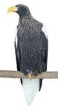 Αετός θάλασσας Steller Στοκ εικόνα με δικαίωμα ελεύθερης χρήσης