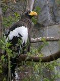 Αετός θάλασσας Steller ` s στοκ φωτογραφία με δικαίωμα ελεύθερης χρήσης