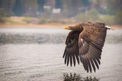 Αετός θάλασσας στοκ φωτογραφίες με δικαίωμα ελεύθερης χρήσης