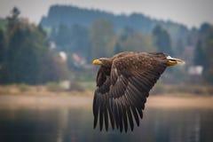 Αετός θάλασσας στοκ εικόνες