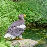 Αετός θάλασσας Steller ` s στο πάρκο πουλιών Walsrode Μεγάλο πουλί του θηράματος στοκ φωτογραφίες