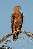 αετός καστανόξανθος Στοκ εικόνες με δικαίωμα ελεύθερης χρήσης