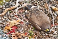 αετός καστανόξανθος Στοκ Εικόνα
