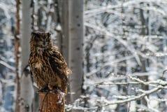 Αετός-κουκουβάγια Bubo Bubo στοκ εικόνες