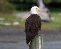 Αετός μαρινών Στοκ εικόνες με δικαίωμα ελεύθερης χρήσης