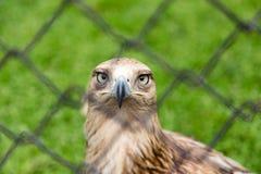 Αετός πίσω από έναν φράκτη στο πάρκο Στοκ Φωτογραφία