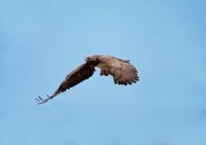 αετός πολεμικός Στοκ εικόνες με δικαίωμα ελεύθερης χρήσης
