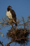 αετός πολεμικός Στοκ Εικόνες