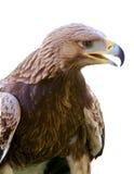 αετός που απομονώνεται Στοκ Εικόνα