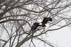 Αετός που προσγειώνεται σε ένα δέντρο Στοκ φωτογραφία με δικαίωμα ελεύθερης χρήσης