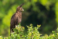 Αετός που σκαρφαλώνει μακρύς-λοφιοφόρος στην ακακία Στοκ Εικόνες