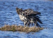 Αετός που τινάζει μακριά Στοκ φωτογραφίες με δικαίωμα ελεύθερης χρήσης