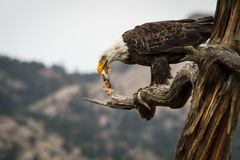 Αετός που τρώει τα ψάρια Στοκ φωτογραφία με δικαίωμα ελεύθερης χρήσης