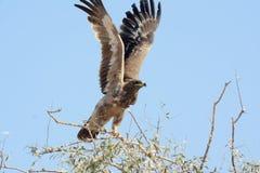 Αετός στεπών, απογείωση Στοκ φωτογραφία με δικαίωμα ελεύθερης χρήσης