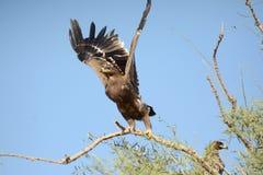 Αετός στεπών ΠΟΥ ΒΓΑΖΕΙ JORBEER OUTSKIRT Στοκ εικόνες με δικαίωμα ελεύθερης χρήσης
