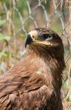 Αετός στεπών υπερήφανος Στοκ Φωτογραφίες