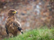 Αετός στεπών στοκ φωτογραφία με δικαίωμα ελεύθερης χρήσης