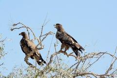 Αετός στεπών, Jorbeer BIKANER Στοκ φωτογραφία με δικαίωμα ελεύθερης χρήσης