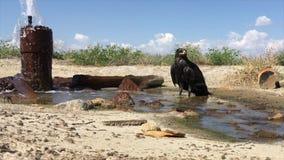 Αετός στεπών/nipalensis Aquila απόθεμα βίντεο
