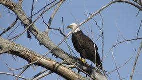 Αετός στο δέντρο Στοκ Εικόνες