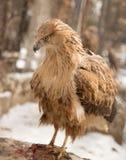 Αετός στο πάρκο υπαίθρια Στοκ Φωτογραφία