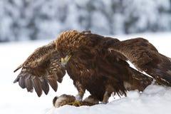 αετός χρυσός Στοκ Φωτογραφίες