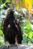 αετός χρυσός Στοκ εικόνες με δικαίωμα ελεύθερης χρήσης