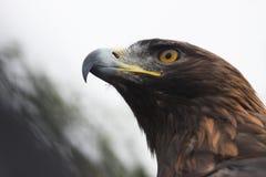 αετός χρυσός Στοκ φωτογραφίες με δικαίωμα ελεύθερης χρήσης
