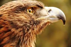 αετός χρυσός Στοκ Εικόνες