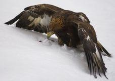 αετός χρυσός Στοκ φωτογραφία με δικαίωμα ελεύθερης χρήσης