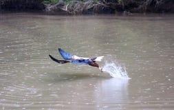 Αετός χτυπήματος Στοκ εικόνες με δικαίωμα ελεύθερης χρήσης