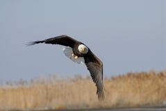αετός 01 Στοκ Φωτογραφία