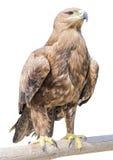 Αετός Στοκ Εικόνα