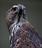 Αετός 005 Στοκ Εικόνες
