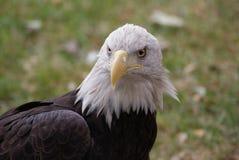 0 αετός Στοκ φωτογραφίες με δικαίωμα ελεύθερης χρήσης