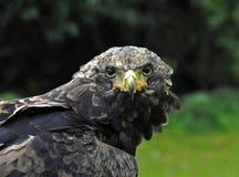 αετός bateleur Στοκ Φωτογραφίες