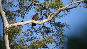 Αετός Gurney ` s στο νησί Halmahera, Ινδονησία φιλμ μικρού μήκους