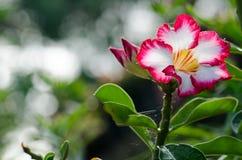 Αζαλεών λουλουδιών φρουρά και ήλιος Phu Echea χρώματος άνθισης λευκιά στοκ φωτογραφίες
