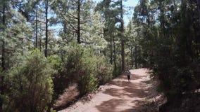 Αθλητής κοριτσιών που τρέχει σε ένα δάσος πεύκων απόθεμα βίντεο