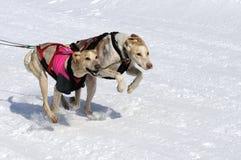 Αθλητικά σκυλιά στο βουνό Στοκ φωτογραφία με δικαίωμα ελεύθερης χρήσης