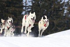 Αθλητικά σκυλιά Στοκ φωτογραφίες με δικαίωμα ελεύθερης χρήσης