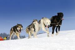 Αθλητικά σκυλιά Στοκ Φωτογραφίες