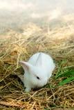 Αθώος λίγο άσπρο κουνέλι στο άχυρο στοκ εικόνα